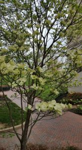 Photo of Dogwood tree with Virginia Capitol in the background